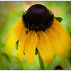 Painted Coneflower