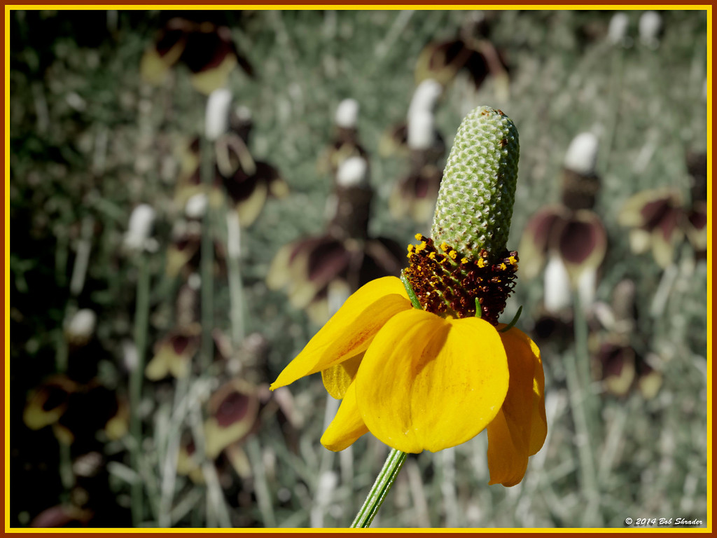 Mexican Hats in Bloom
