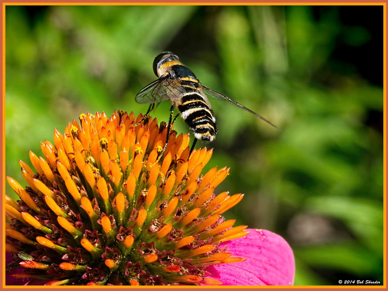 Top of the Coneflower