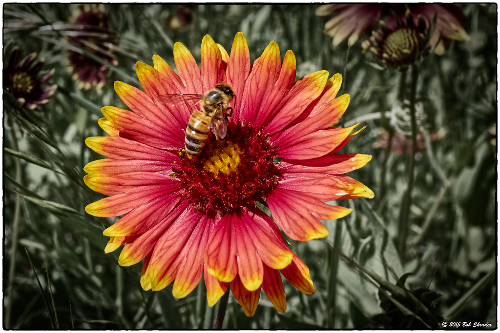 Bee on Indian Blanket