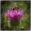 Honey Bee on Texas Thistle