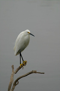 Snowy Egret - Edinburg, Texas