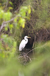 Great Egret - Edinburg, Texas