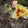 Yellow Prickly Pear Cactus Flower - Big Bend National Park, Brewster Co, TX