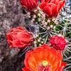 'Dead on Red' - Claret Cactus Flowers