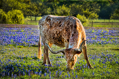 Longhorn in Blue Bonnets