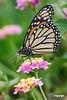 Monarch_D725951