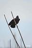Blackbird_D725476