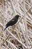 Blackbird_D725377