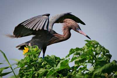 Tricolored Heron Arrival - Hover Island