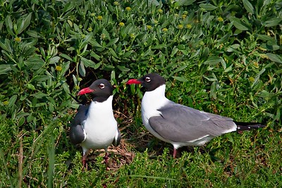 Laughing Gull Pair