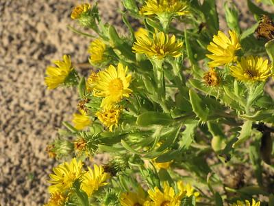 sand dune flower