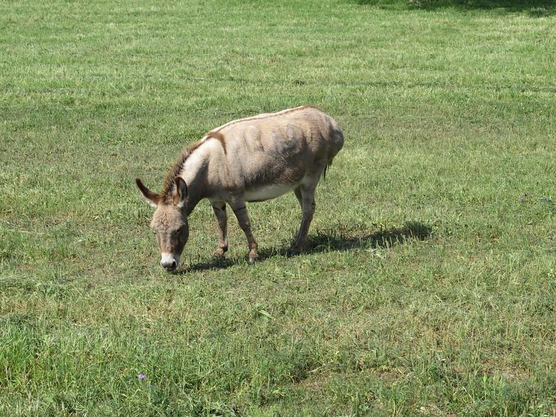 Burro grazing near Skyline Ranch RV campground.ArizonaEileen > albums > Bandera TX ~ April 2012