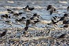 AmericanAvocets_D732275