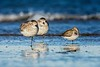 Sanderlings_D733738fs