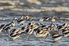 AmericanAvocets_D732520