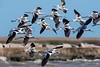 AmericanAvocets_D733454