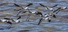 AmericanAvocets_D733475