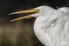Yelling_GreatEgret_D726320