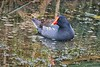 CommonGallinule_D734988