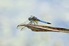 Dragonfly_D725622