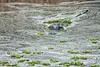Alligator_D735082