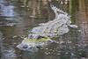 Alligator_D725587
