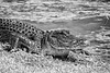 Alligator_MG_7739