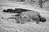 Alligator_MG_7744