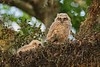 GreatHornedOwl_Chicks_D736128