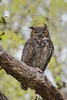 GratHornedOwl_Mom_D735599