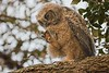 GreatHornedOwl_Chick_D738191