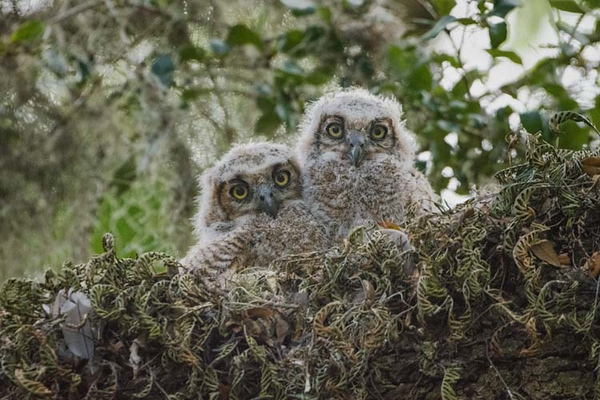 GratHornedOwl_Chicks_D736407