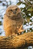 GreatHornedOwl_Chick_D738116
