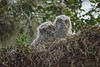 GratHornedOwl_Chicks_D736509