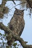 GreatHornedOwl_Mom_D737727