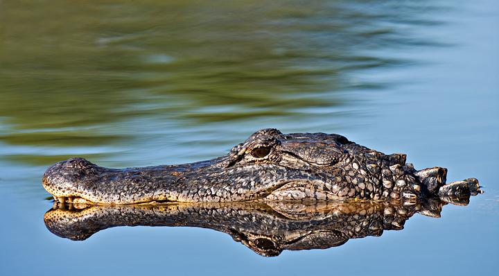 American Alligator -  Reflection
