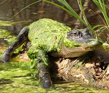 Alligator Camoflauge
