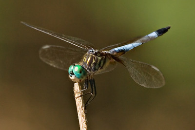 Dragonfly - Blue Dasher - 500mm & 62mm extension tubes