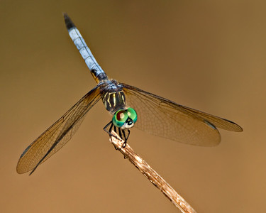 Dragonfly - Blue Dasher - 500mm & 2xTC & 62mm extension tubes