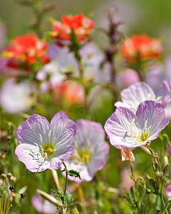 Evening Primrose & Paintbrush - Spring 2006 - 500mm