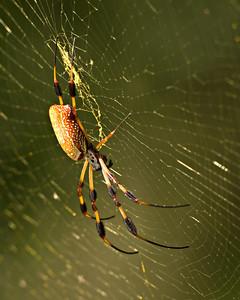 Golden Silk Spider - 500mm + 62mm extension tubes