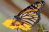 Monarch2_D7K5173