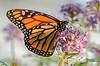 Monarch1_D7K4963