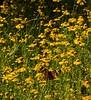 Common Buckeye Butterfly & Daisies
