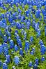 Texas bluebonnets in a field near Ennis, Texas, USA.