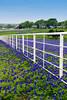 A white farm fence and a field of Texas bluebonnets near Ennis, Texas, USA.