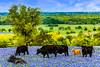 Cattle in a field of Texas bluebonnets near Ennis, Texas, USA.