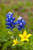 Closeup of spring wildflowers with Texas bluebonnets near Ennis, Texas, USA.