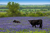 A herd of black Angus cows grazing in a field of Texas bluebonnets near Ennis, Texas, USA.